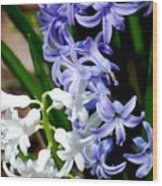 Purple And White Hyacinth Wood Print