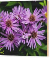 Purple Aster Blooms Wood Print