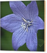 Purple Balloon Flower Wood Print