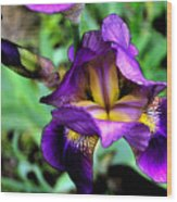 Purple Bearded Iris Ft3025 Wood Print