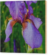 Purple Bearded Iris Portrait Wood Print