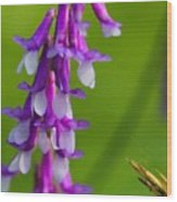 Purple Bird Vetch Plant  Wood Print