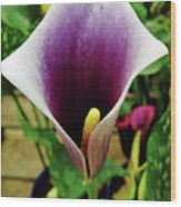 Purple - Calla Lily - Bloom Wood Print