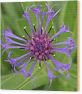 Purple Centaurea Montana Flower Wood Print