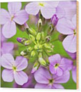Purple Circle Of Dames Rocket Phlox In Spring Garden Wood Print