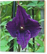 Purple Clematis Henryi Wood Print