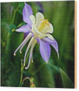 Purple Columbine Wood Print