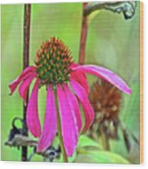 Purple Coneflower Along White Pine Trail In Kent County, Michigan  Wood Print