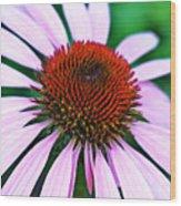 Purple Coneflower Close-up Wood Print