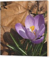 Purple Crocus In Dried Leaves Wood Print