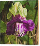 Purple Flower Of The Vine Known As Cathedral Bells Wood Print