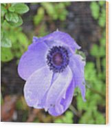 Purple Flowering Anemone Flower In A Lush Green Garden Wood Print
