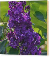 Purple French Lilac Wood Print