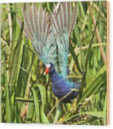 Purple Gallinule In Flight Wood Print