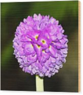 Purple Himalayan Primrose Wood Print