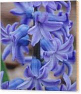 Purple Hyacinth Wood Print