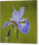 Purple Iris 2 Wood Print
