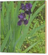 Purple Iris With Green Leaves Wood Print by Sharon McKeegan