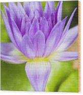 Purple Lotus Blossom Wood Print