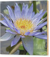 Purple Water Lily Flowers Blooming In Pond Wood Print