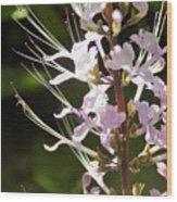 Purple Lycoris Wood Print
