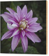 Purple Pink Dahlia Wood Print