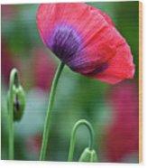 Purple Poppy Flower Wood Print