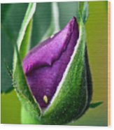 Purple Rose Bud Wood Print
