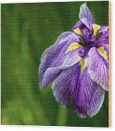 Purple Siberian Iris Flower Closeup Wood Print