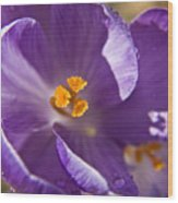 Purple Spring Crocus Wood Print