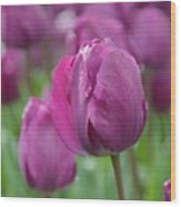Purple Tulip With Water Drops Wood Print