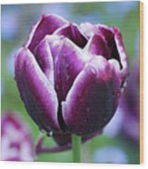 Purple Tulips With Dew Drops On The Outside Of The Petals Wood Print