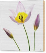 Purple Yellow Tulip 1 Wood Print