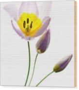 Purple Yellow Tulip 2 Wood Print