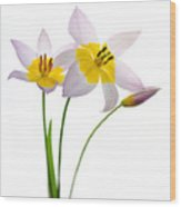 Purple Yellow Tulips 1 Wood Print