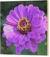 Purple Zinnia  Wood Print