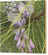 Pushing Though Or Wisteria And Long Needle Pine Wood Print