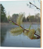 Pussy Willow Flowers Wood Print