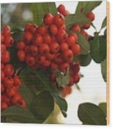 Pyracantha Berries In December Wood Print