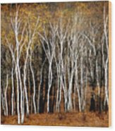 Quabbin Birches Wood Print