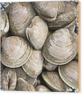 Barnstable Harbor Quahogs Wood Print