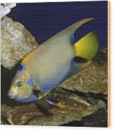 Queen Angelfish Wood Print