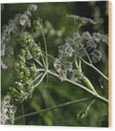 Queen Anne Lace In The Wind Wood Print