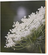 Queen Anne's Lace 1 Wood Print