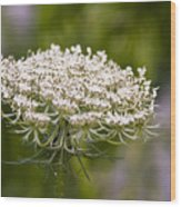 Queen Anne's Lace 2 Wood Print