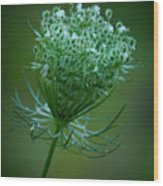 Queen Annes Lace - 365-164 Wood Print