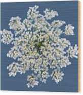 Queen Anne's Lace Flower Wood Print