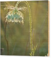 Queen Anne's Lace In Evening Wood Print
