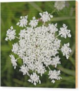 Queen Anne's Lace No 2 Wood Print
