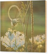 Queen Anne's Lace Sunset Wood Print